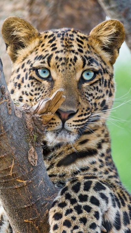 Leopard With Blue Eyes
